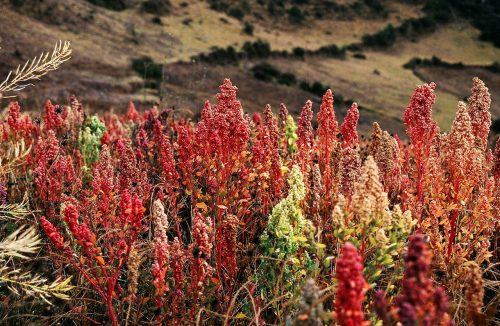 Quinua (Quinoa) plants near Cachora, Apurímac, Peru. Altitude: 3800m