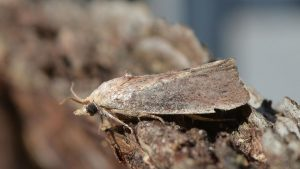 Galleria mellonella – Greater Wax Moth