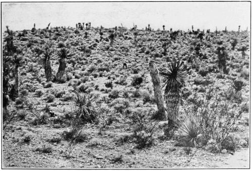 PSM V81 D325 A fine source of guayule near las caopas zacatecas