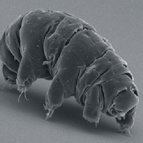 SEM image of Milnesium tardigradum in active state