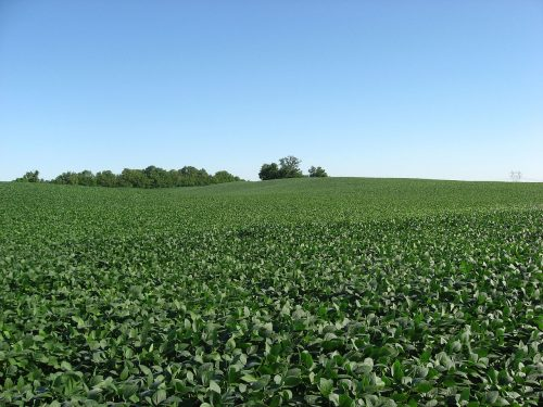 Soybean fields at Applethorpe Farm