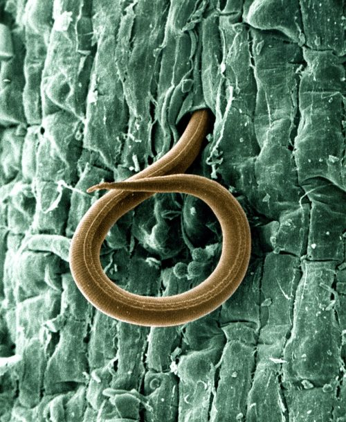 A juvenile root-knot nematode (Meloidogyne incognita) penetrates a tomato root - USDA-ARS