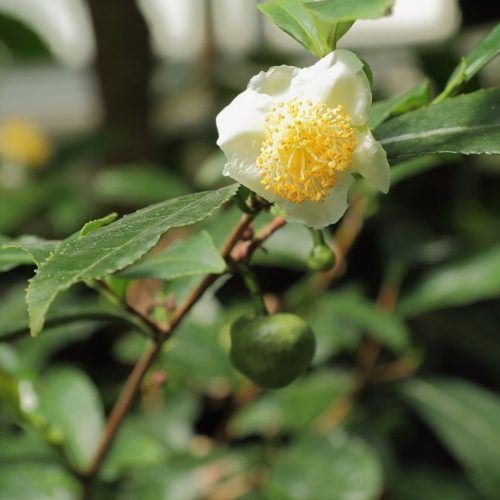 Camellia sinensis-IMG 3444