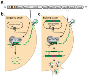 Figure 3: Targeting vs. Editing strain used to edit Staphylococci bacteriophages with CRISPR-Cas 10
