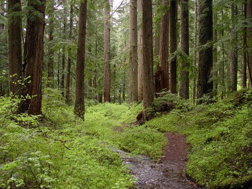 Creek and old-growth forest-Larch Mountain