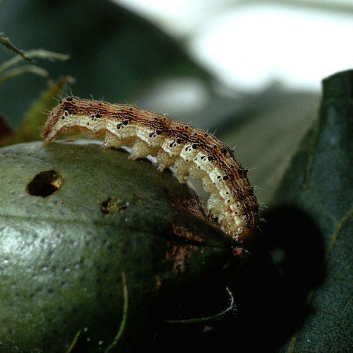 Corn earworm
