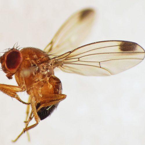 Spotted-wing Drosophila (Drosophila suzukii) male (15359228246)