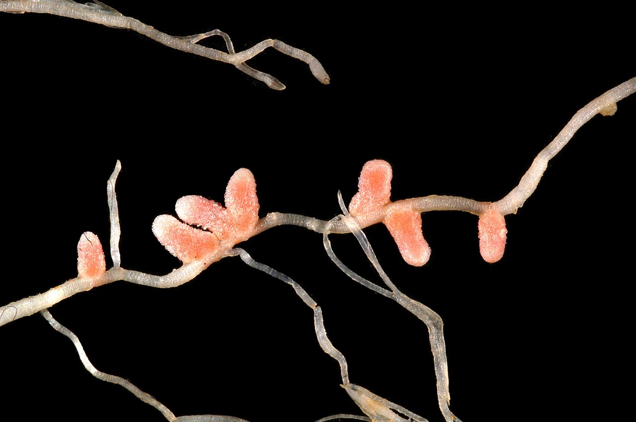 symbiosis nitrogen fixation andmycorrhizae Nitrogen fixation - free living and associative types of microorganisms 29 symbiotic nitrogen fixers- rhizobium-tree legume symbiosis non-legume nitrogen fixing symbiosis, frankiaactinorrhizal symbiosis - casuarina,  mass culturing of bacterial biofertilizersandmycorrhizae 16.
