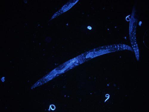 Caenorhabditis elegans DAPI