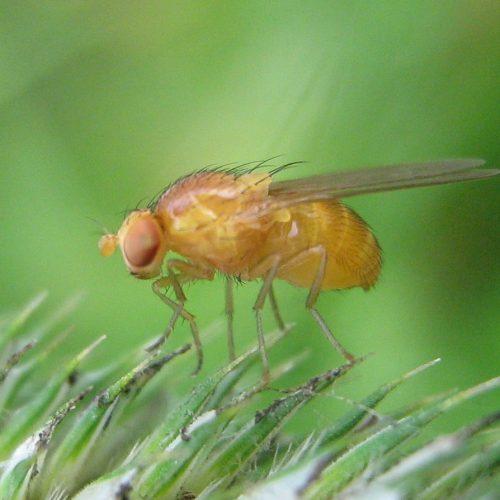 Drosophila-melanogaster-Nauener-Stadtwald-03-VII-2007-10