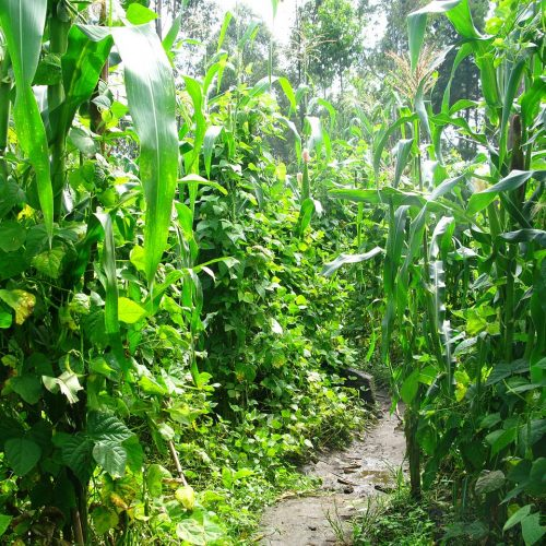 Intercropping maize and beans