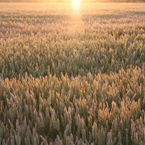 Acker-bei Sonnenuntergang-July2006