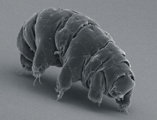 SEM image of Milnesium tardigradum in active state