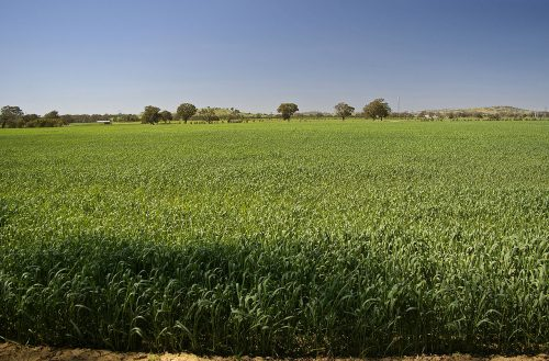 Heat affected crop during a green drought