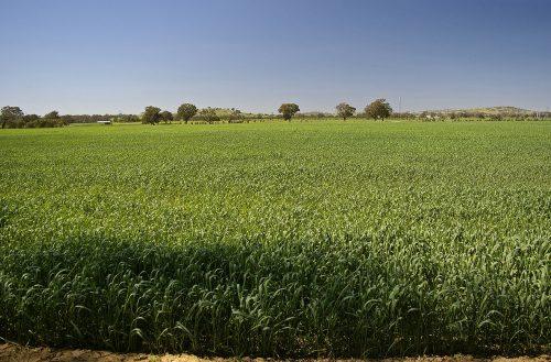 Heat affected crop during a green drought