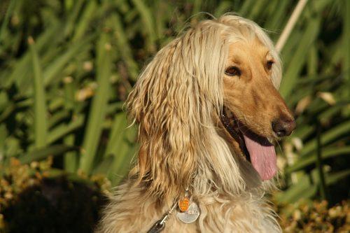 Afghan Hound blond portrait