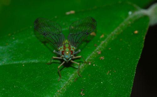 Planthopper (Fulgoroidea) (8686208002)