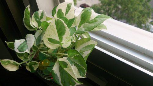 Money Plant (Epipremnum aureum 'N' Joy') 2